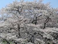 桜全景アップ1.jpg